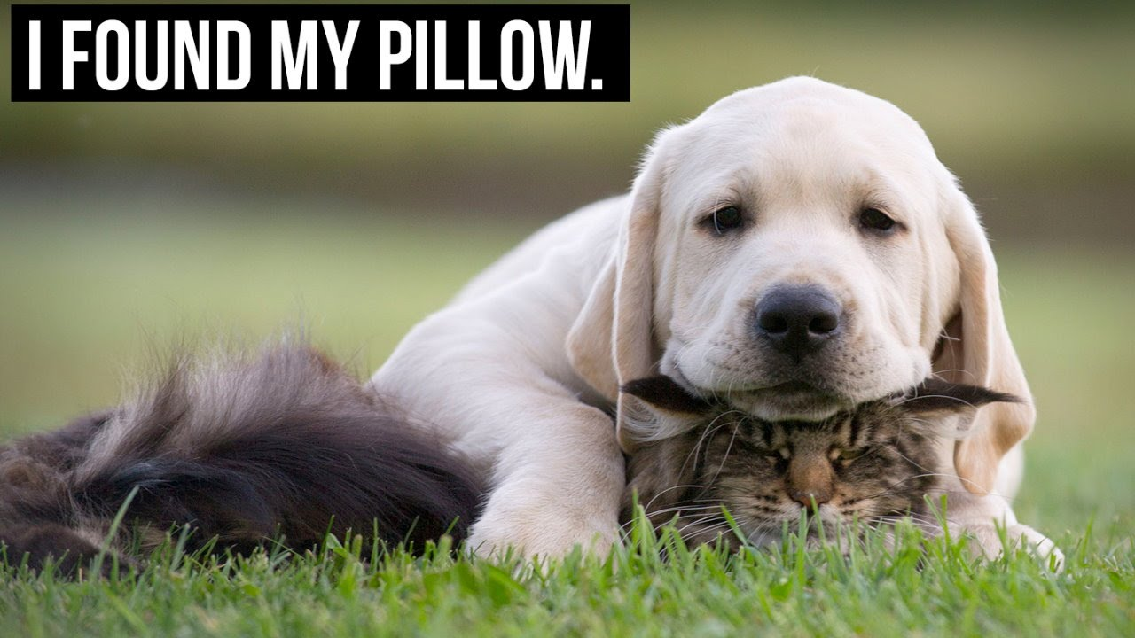 Funny Memes For Kids Animals : I found my pillow reading kingdom blog